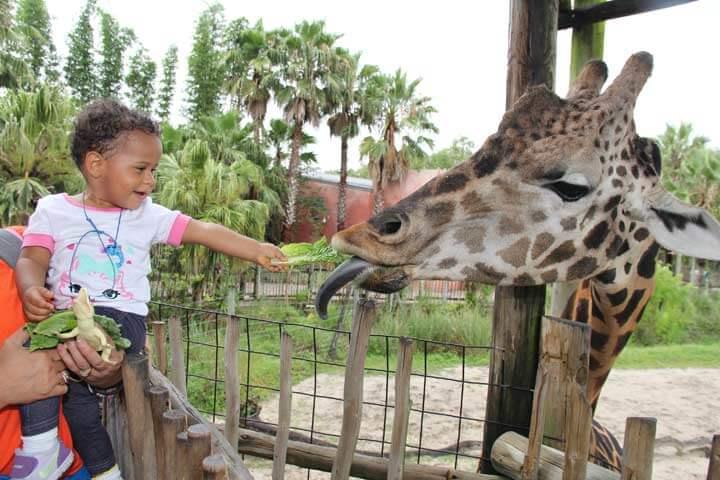 Girafa no Zoológico Lowry Park em Tampa