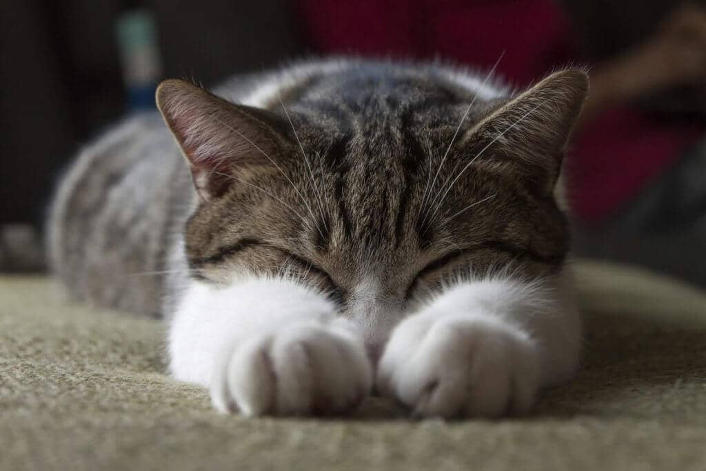 Vacinas para viajar com seu gato de estimação
